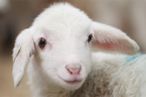 属羊人2019年全年运势 沟通方面存障碍